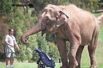 Elefante golfista