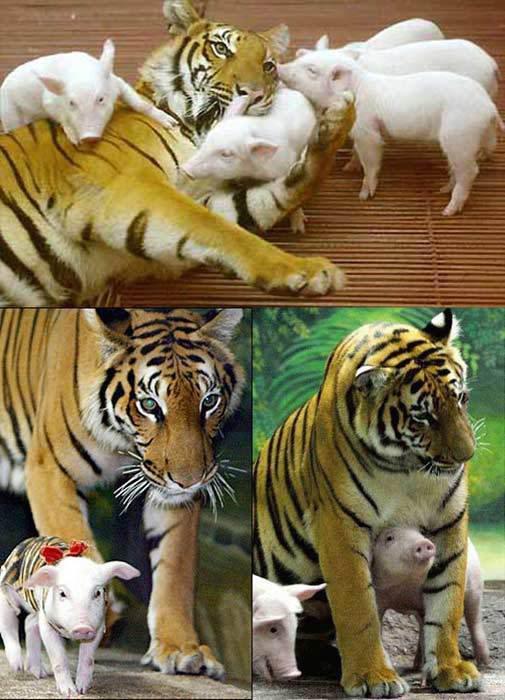 Tigre jugando con cerditos.