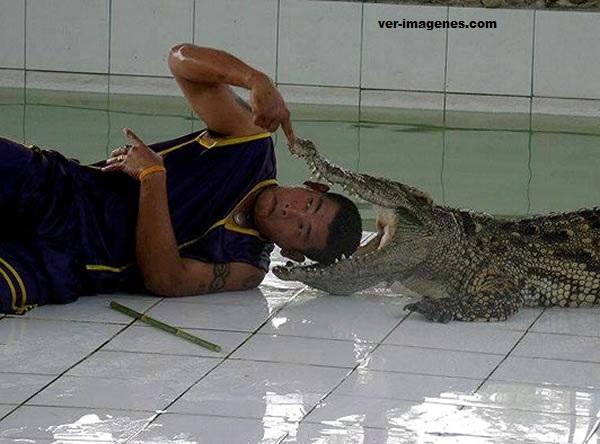 ¡que loco! un hombre mete su cabeza a la boca de un cocodrilo