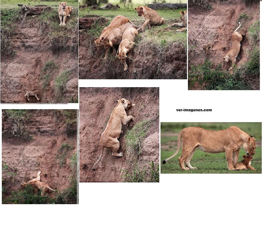 Dramatico rescate de un cachorro de leon