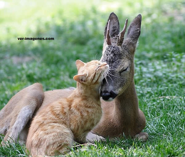 Un ciervo bebe y un gato son buenos amigos
