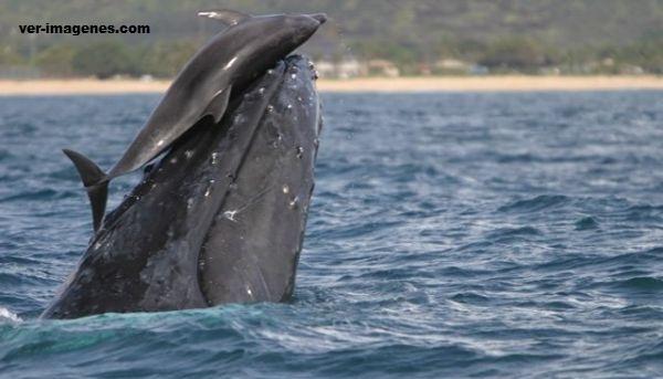 Imagen Un delfin sobre una ballena!