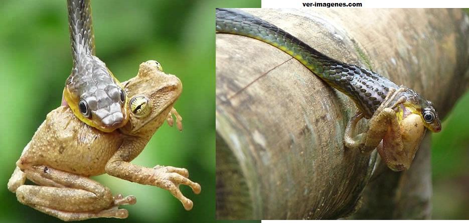 Una serpiente tragandose una rana mayor que su garganta