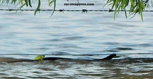 Imagen Una rana viajando sobre una serpiente
