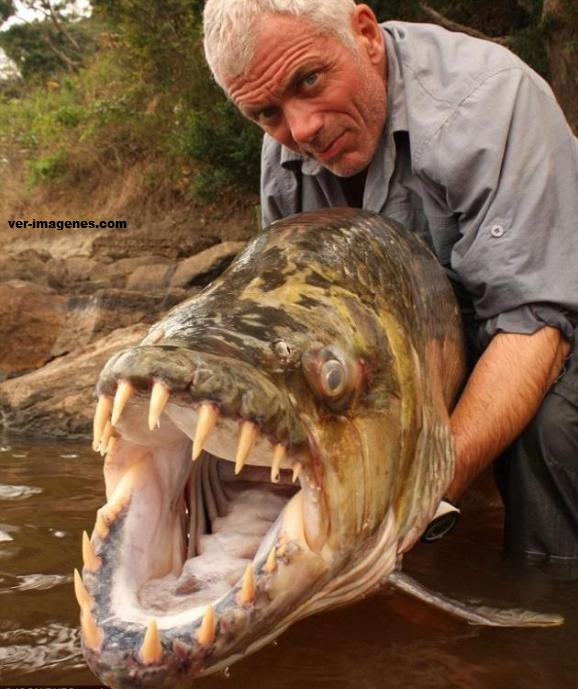 Pez tigre de africa, un monstruo de rio