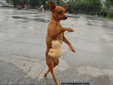 La perrita Lulu camina en dos patas y es toda una diva