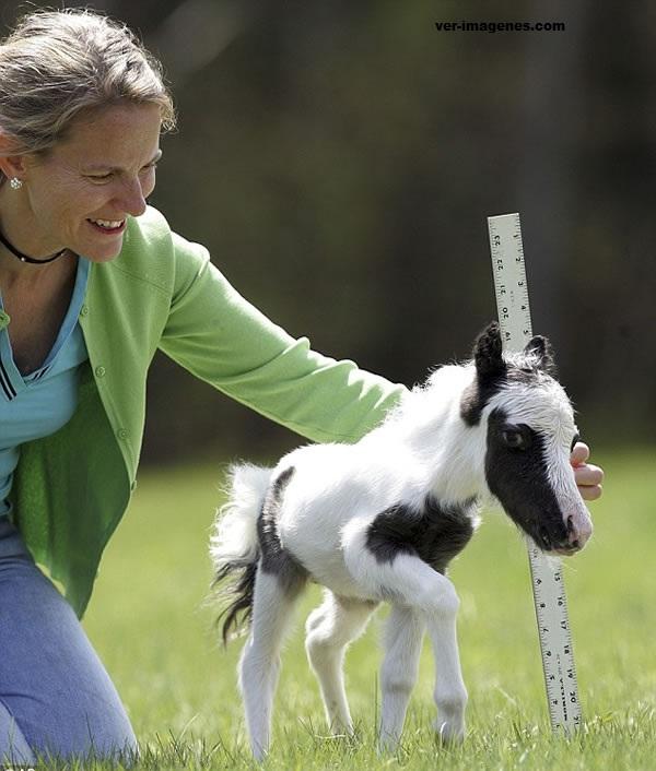 Einstein: el caballo mas pequeã?â±o del mundo con solo 35 centimetros
