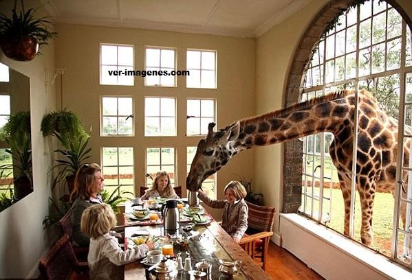 Desayunando con jirafas