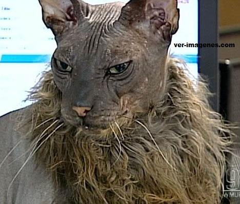 El gato más feo del mundo.