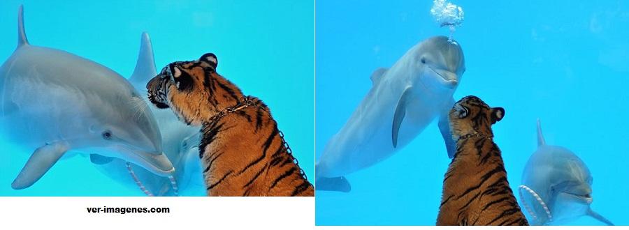 Una tigresa y un delfin, los mejores amigos