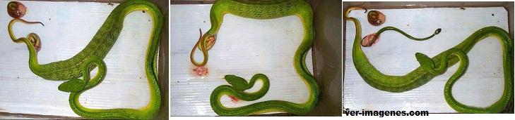 Como dan a luz y nacen las serpientes?