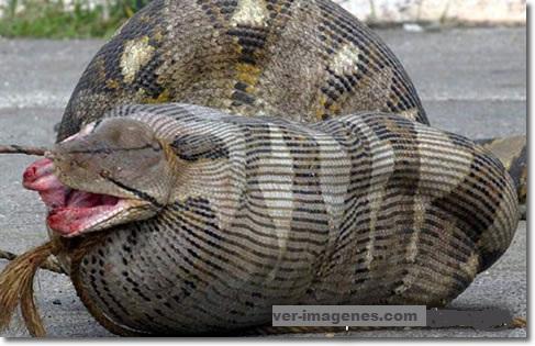 Imagen Fotografía de una serpiente que se tragó una oveja embarazada