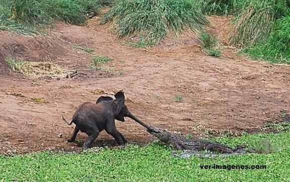 Elefante peleando con un cocodrilo