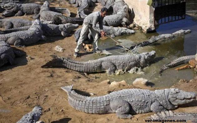 Este sí es un trabajo peligroso: cuidar cocodrilos!