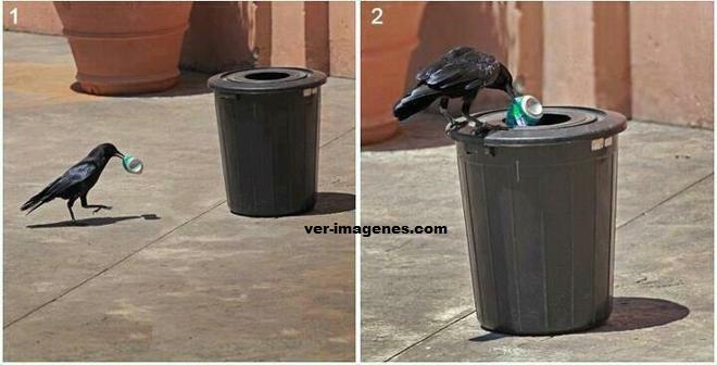 Cuervo educado