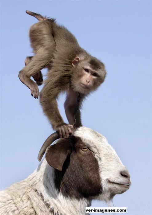 Mono haciendo acrobacias sobre una cabra!