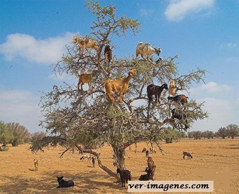 Cabras sobre un árbol!