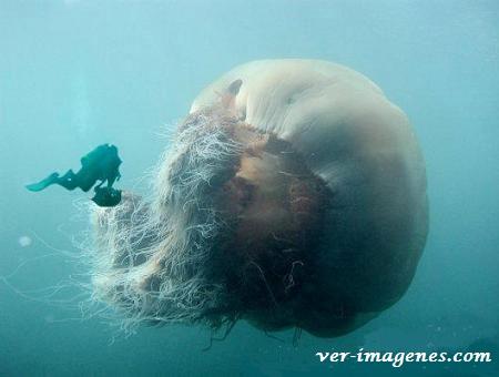 Una medusa gigante!
