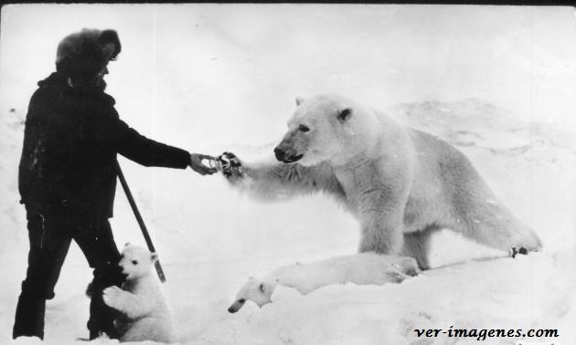 Familia de osos polares saludando a un hombre!