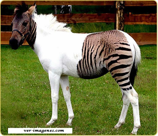 Un cruce de cebra y caballo, la estrella de un safari aleman