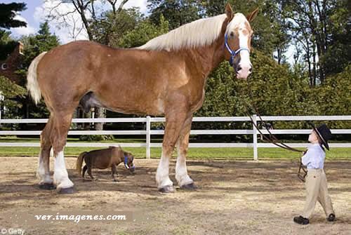 Juntos el caballo mas grande con el mas diminuto del mundo