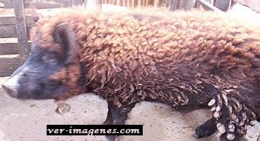 Encuentran un cerdo con pelaje de oveja en argentina