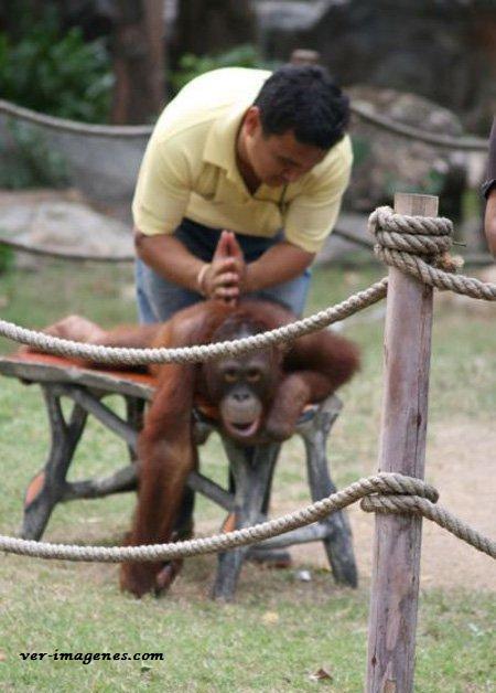 Un masaje relajante para un orangután