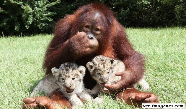 Orangután hanama adopta a dos leones