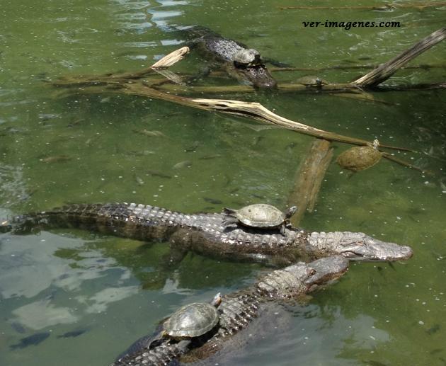 Tortugas encima de cocodrilos… las verdaderas tortugas ninjas!