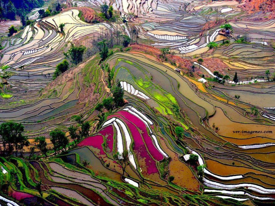 Campos de arroz en china.