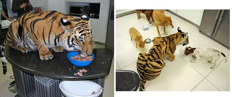 Imagen Un tigre que vive como mascota en casa de una familia en Sudáfrica