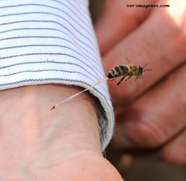 Una imagen que explica por qué mueren las abejas cuando pican