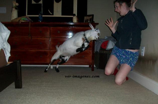 Tener una cabra de mascota no es muy buena idea…