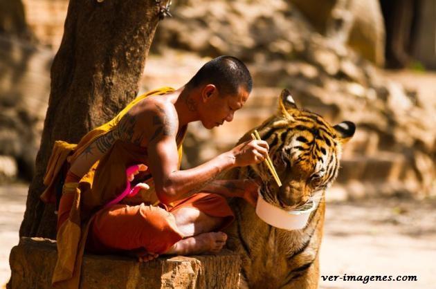 Monje compartiendo su plato de comida con un hermoso tigre