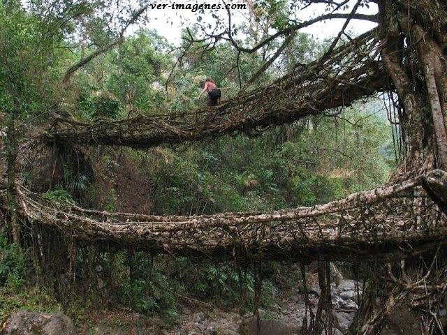 Los antiguos puentes de raíces de la india.