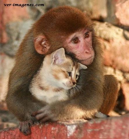 Tierna imagen de un monito abrazando a un gatito