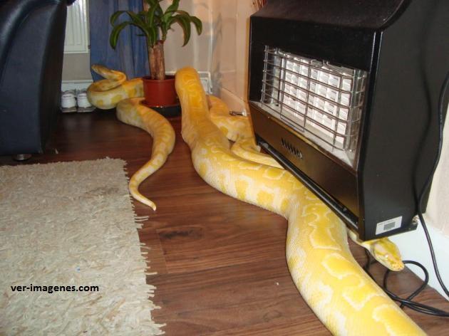 Curioso par de mascotas: serpientes piton birmanas amarillas