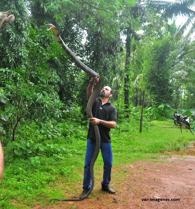 Sosteniendo una enorme cobra reina o cobra real