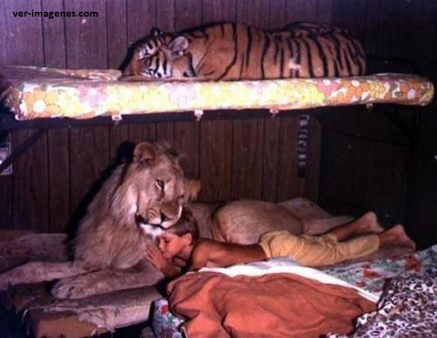 Imagen Durmiendo con felinos, una leona y un tigre!