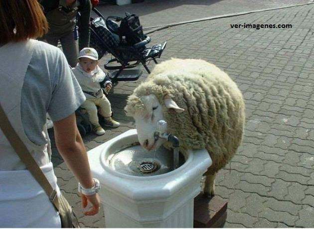 Oveja tomando agua!