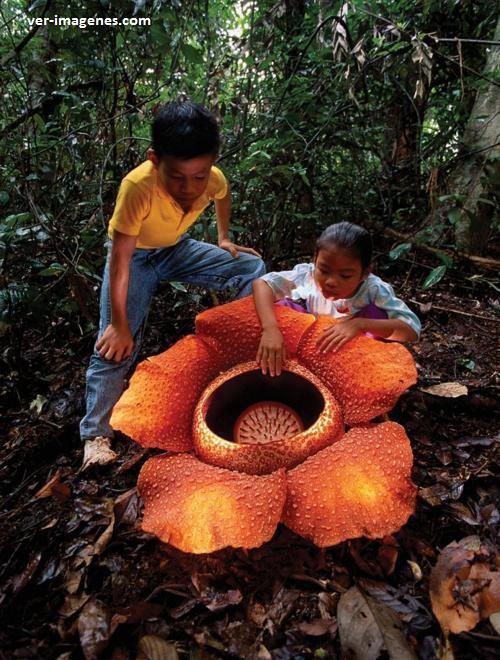 La rafflesia arnoldii es la flor mas grande del mundo