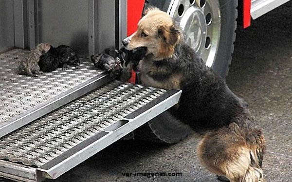 Salvó a sus 5 cachorros de un incendio
