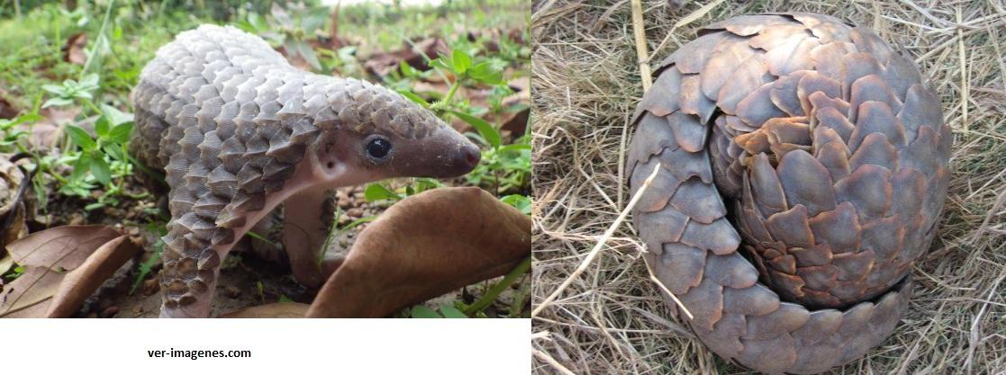 Habias visto alguna vez a este tierno y raro animal? es un pangolin!