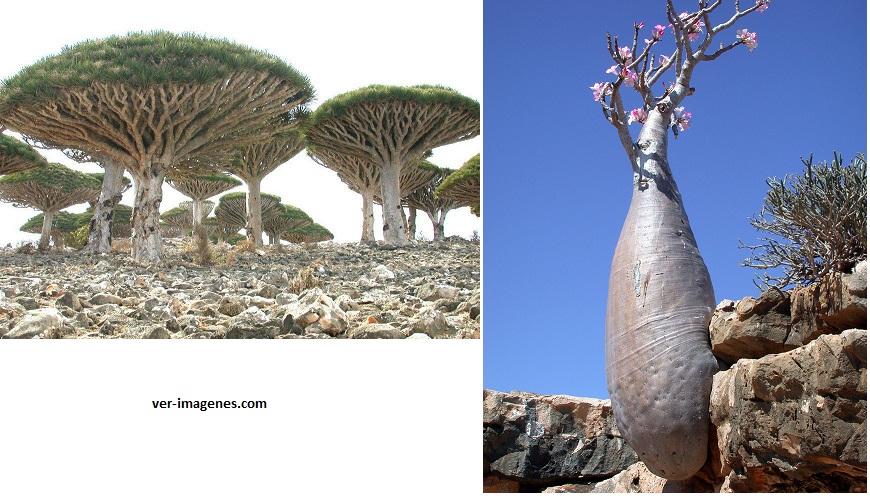 Los increíbles árboles de socotra islands