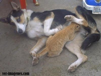 Perra amamantando gato