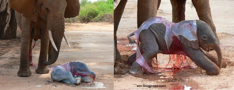 Elefante recién nacido