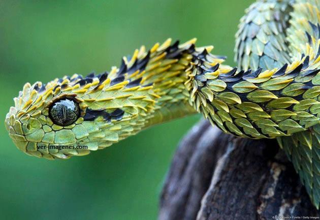 La hermosa atheris, la víbora peluda de los arbustos