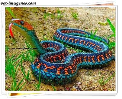 Serpiente de jarretera o culebra rayada
