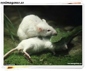 Ratón intentó rescatar a su amigo