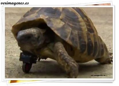 Tortuga que camina gracias a una prótesis de lego que realizo su veterinario